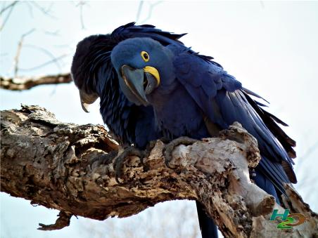 arara-azul-pantanal-ms-h2o