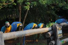 araras-reveillon-pantanal-fazenda-san-francisco-h2o-ecoturismo