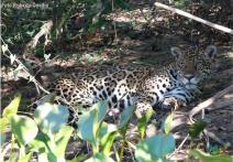 onca-fazenda-san-francisco-reveillon-2017-pantanal-h2o-ecoturismo